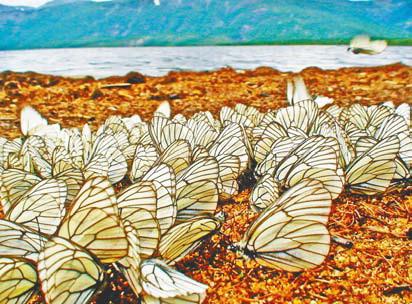 Бабочки. Бабочеки у озера Леприндокан