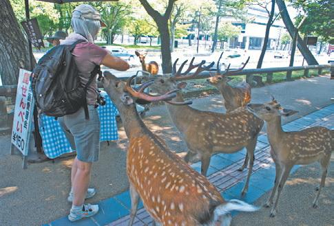 Япония. По улицам города Нара бродят 4 тысячи оленей (и никто их не убивает!)