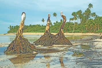 После цунами от пальм на берегу острова Уполу (Самоа) остались такие своеобразные «пеньки»