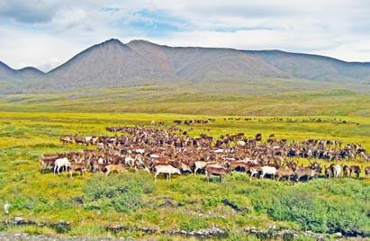 Хребет Черского. Стадо оленей в долине Сахыньи