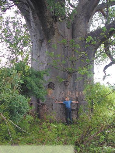 Баобаб, Африка. Дерево баобаб
