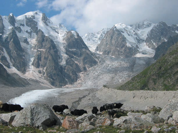 Яки доходят почти до языка ледника Уллуауз