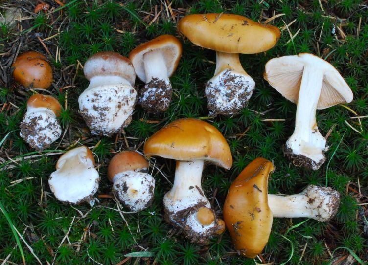 Крымские степные грибы съедобные фото