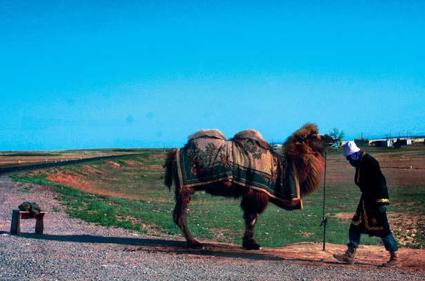 Верблюд. Единственный причёсанный верблюд на всю пустыню. Погонщик продаёт верблюжье молоко на трассе и позволяет сфотографироваться с верблюдом