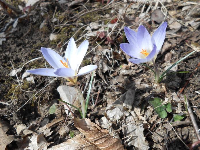 Эдельвейцы цветы. Поездка в Адыгею, фото отзыв о поездке на сайте СВ-Астур
