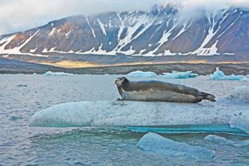 Новая Земля. Морской заяц (лахтак) отдыхает на айсберге в губе Южная Сульменева рядом с ледником Шумным