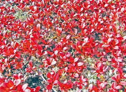 Листья арктоуса, покрасневшие от заморозков