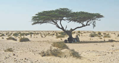 Пустыня Сахара. гигантская акация. Ей, как минимум, 1000 лет